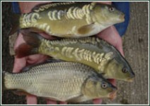 Coldwater Fish